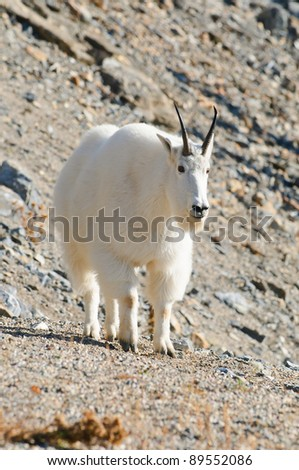 Wild Mountain Goats on a rocky cliff, Banff National Park Alberta Canada - stock photo