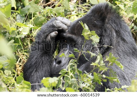 wild mountain gorilla in Uganda