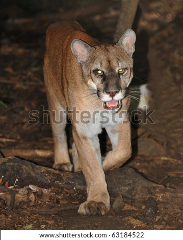 wild mountain lion / puma / cougar photographed with remote camera, guatemala