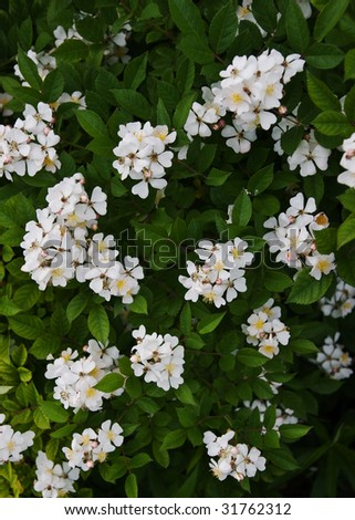 Wild Multiflora Rose bush.  Usually planted for privacy or as a border, but is often found wild. - stock photo
