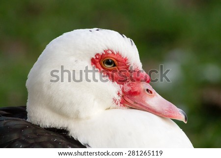 Wild Muscovy Duck (Cairina moschata) in the wetlands.
