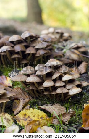 Wild mushrooms. An autumnal rural detail of wild mushrooms growing amongst the decaying leaves of the season. - stock photo