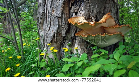 wild mushrooms growing against a tree - stock photo