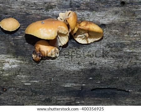 Wild mushrooms growing on a woodland tree - stock photo