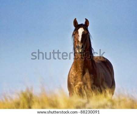 Wild Mustang - stock photo