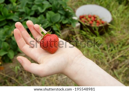Wild Natural Red Strawberries, Strawberry in Child's Hand with Garden Background - stock photo
