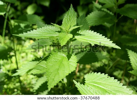 Wild nettle - stock photo