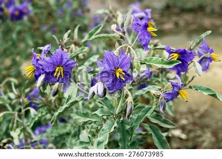 wild nightshade weed blooms blue flowers - stock photo