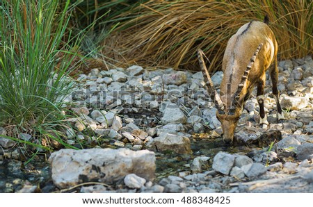 Wild Nubian Index (goat) drinking water.