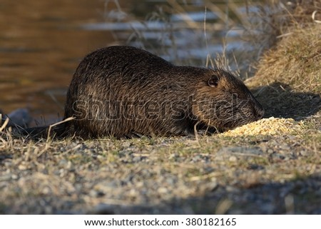 Wild nutria (Myocastor coypus) eat on the bank of the pond. The end of winter. - stock photo
