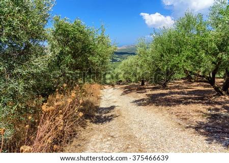 Wild olive trees near the road on Crete island - stock photo