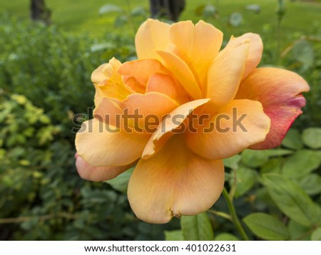 Wild orange rose in the nature - stock photo