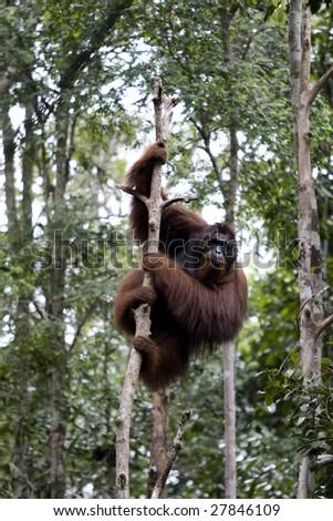 Wild orangutan, Borneo - stock photo
