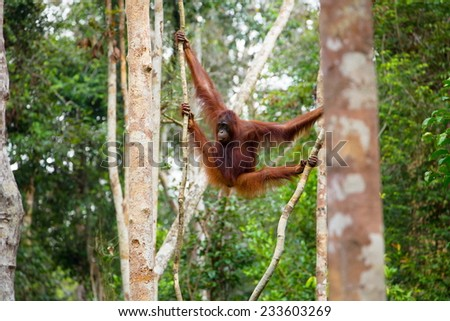 Wild Orangutan hanging on the trees in the jungle of Borneo Indonesia. - stock photo