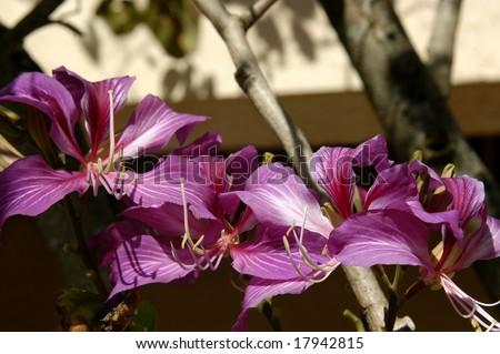 Wild orchid tree has beautiful purple blooms.  Kauai, Hawaii. - stock photo