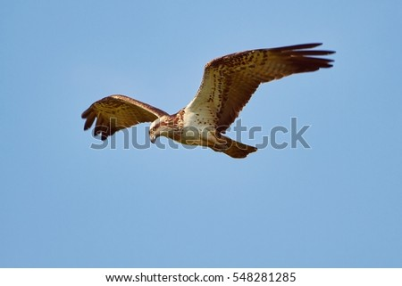 Wild osprey circling on the sky ready to strike. Majestic bird of prey hunting on a sunny summer day.