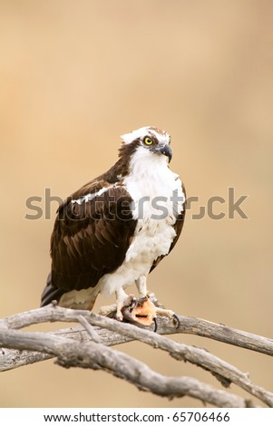 Wild Osprey with Fish in Talons in Yosemite.  Osprey is Staring Right Into the Camera Lense. - stock photo