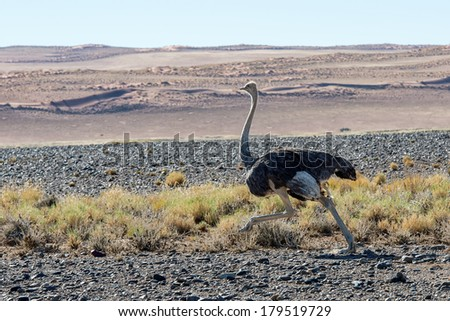 Wild ostrich in Namibia, Africa - stock photo