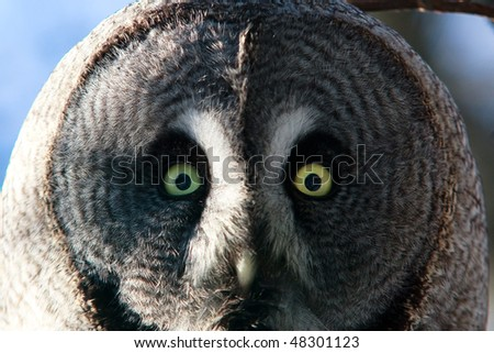 Wild Owl - stock photo