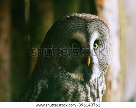 Wild owl portrait or close up picture in the Zoo. Owl with nice big yellow eyes, yellow beak and grey feathers isolated. - stock photo