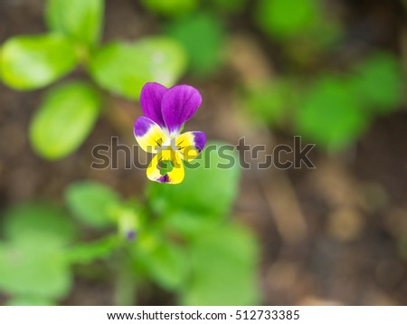 Wild pansy (Viola tricolor) is a common European wild flower, growing as an annual or short-lived perennial.