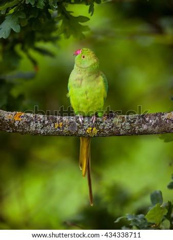 Wild parakeet bird from London (photo taken 20 metres above the ground) - stock photo