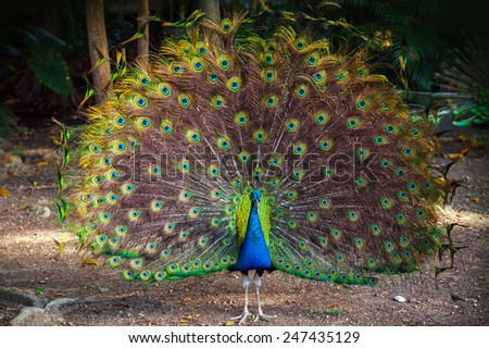 Wild Peacock goes in dark tropical forest with Feathers Out - stock photo