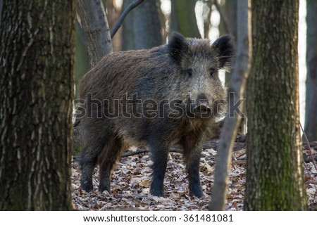 Wild pig in forest - stock photo