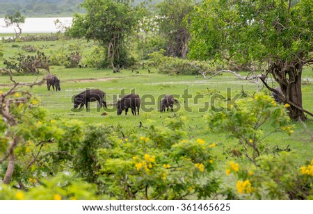 Wild pigs in national park Yala, Sri Lanka - stock photo