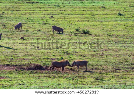Wild pigs playing on a african savanna bush.