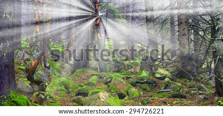 Wild pine trees at dawn during sunrise in a beautiful alpine forest wild Carpathian Ukraine after the rain. High humidity in the foggy haze, a lot of moss and lichen the stones and rocks, no people - stock photo