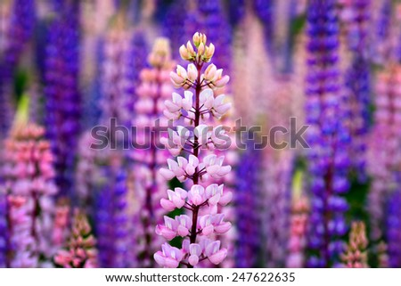 Wild pink and blue lupines in Sweden, scandinavia