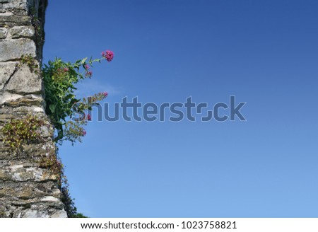 Wild pink flowers on ancient stone wall