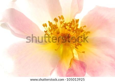 wild pink rose - stock photo