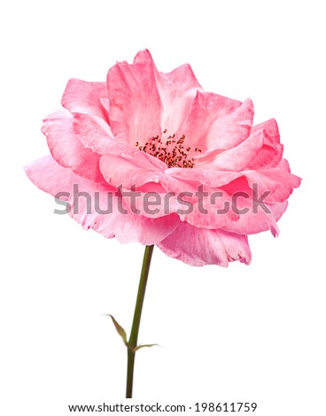 Wild pink rose head closeup isolated on white - stock photo