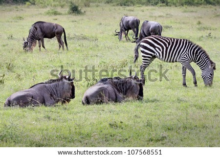 Wild Plains Zebra (Equus quagga, formerly Equus burchelli) and Blue Wildebeest (Connochaetes taurinus), AKA common wildebeest or the white-bearded wildebeest, Graze Together in the Masai Mara. - stock photo