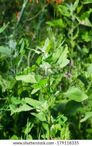 Wild plant - stock photo
