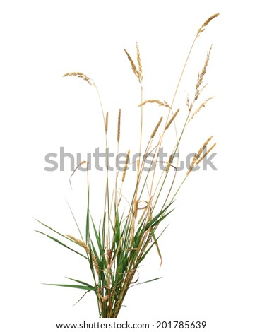 Wild plant, wheat isolated on white background