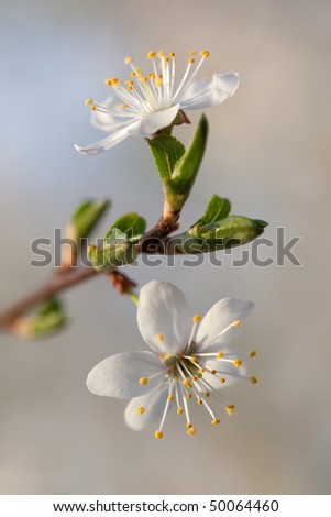 Wild plum flowers - stock photo