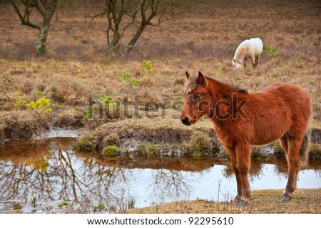 Wild pony at edge of stream in forest during Winter Autumn Fall - stock photo