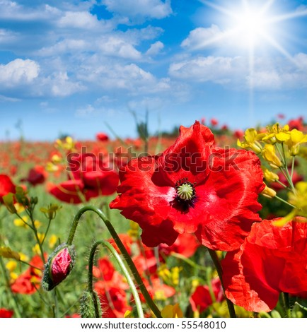 Wild poppies flowers in a summer field, Poland. - stock photo