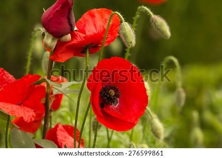 wild poppy field - stock photo