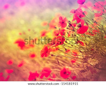 Wild poppy flower in the meadow - stock photo