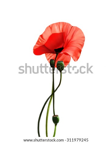 wild poppy flower, on a white background, watercolor illustration - stock photo