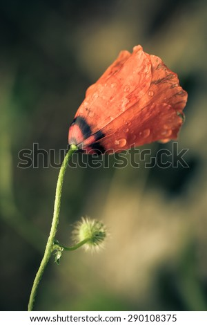 Wild poppy flower on blurred green background. Toned.