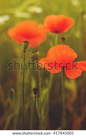 wild poppy flower on field