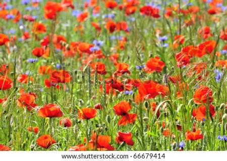 Wild Poppy Flowers on a field in summer. - stock photo