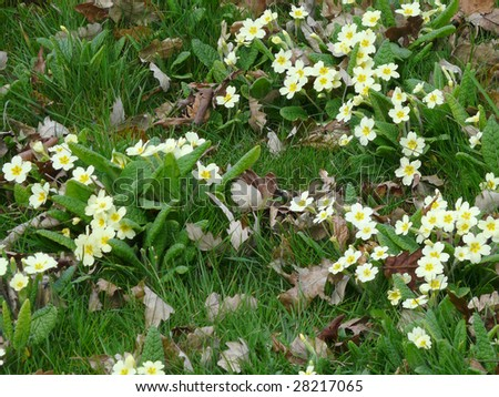 wild primroses (primula) in a deciduous woodland area with fallen autumn leaves and long untended grass - stock photo