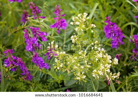 Wild purple flowers tall green grass stock photo royalty free wild purple flowers in tall green grass note shallow depth of field mightylinksfo