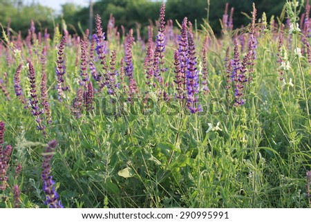 Wild purple salvia flowers